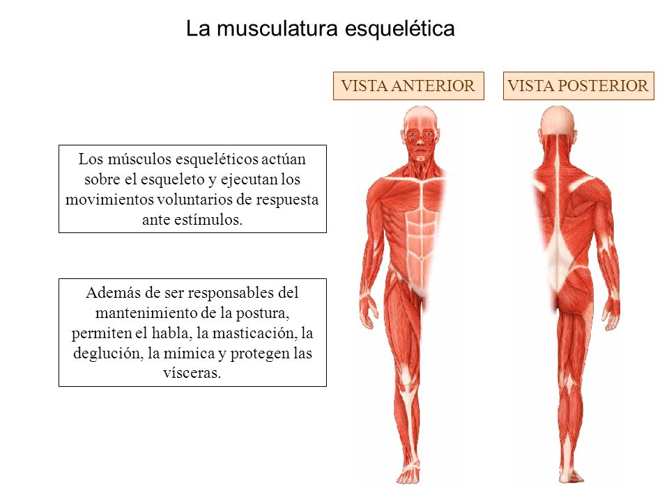 La musculatura esquelética