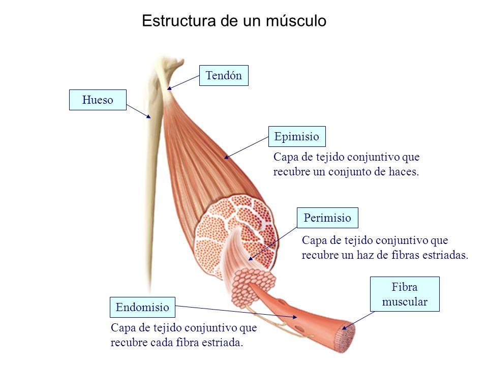 Estructura de un músculo