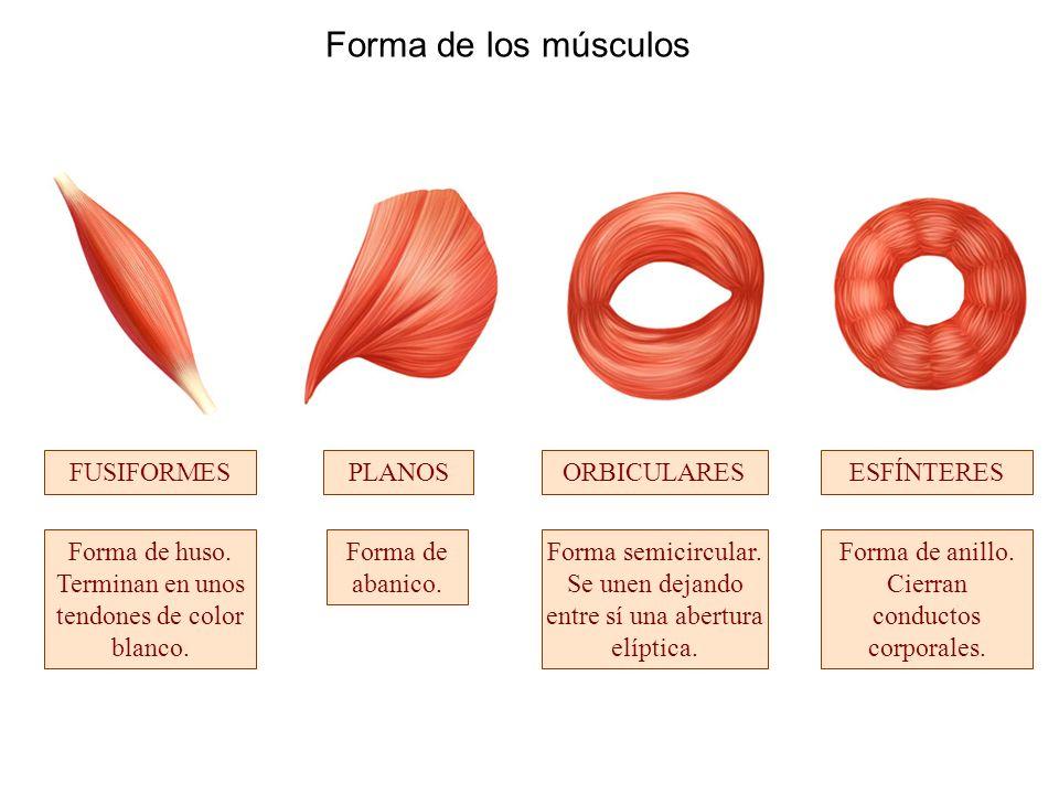 Forma de los músculos FUSIFORMES PLANOS ORBICULARES ESFÍNTERES