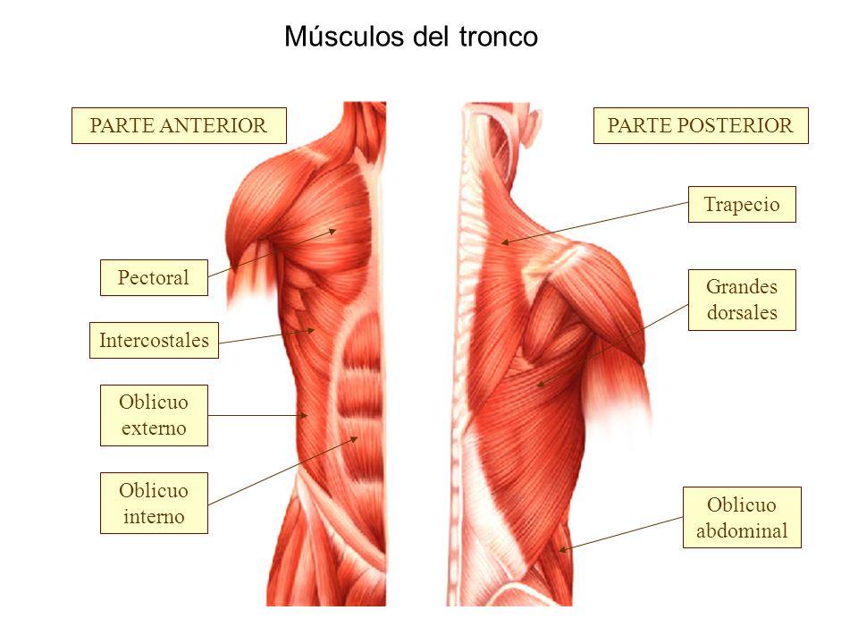 Músculos del tronco PARTE ANTERIOR PARTE POSTERIOR Trapecio Pectoral