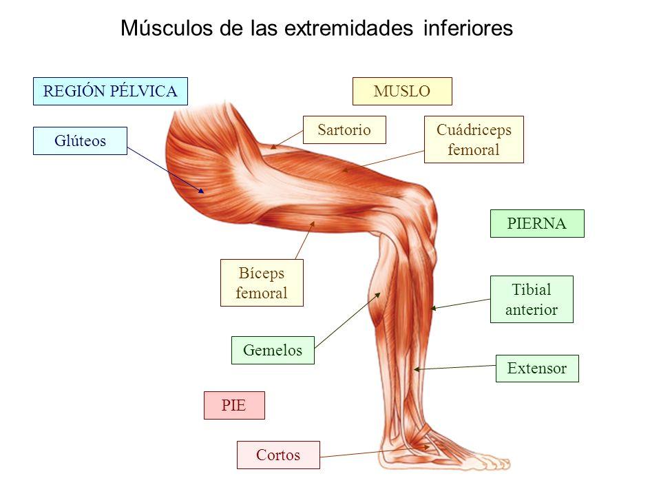 Músculos de las extremidades inferiores