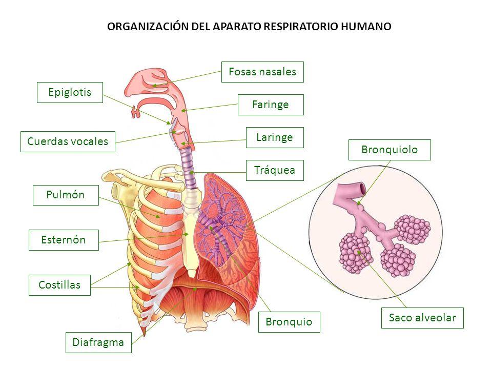 ORGANIZACIÓN DEL APARATO RESPIRATORIO HUMANO