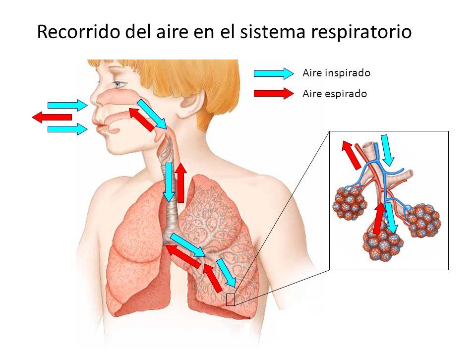 Recorrido del aire en el sistema respiratorio