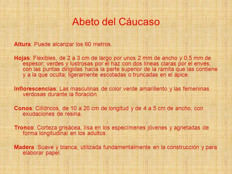 Abeto del Cáucaso Altura: Puede alcanzar los 60 metros.