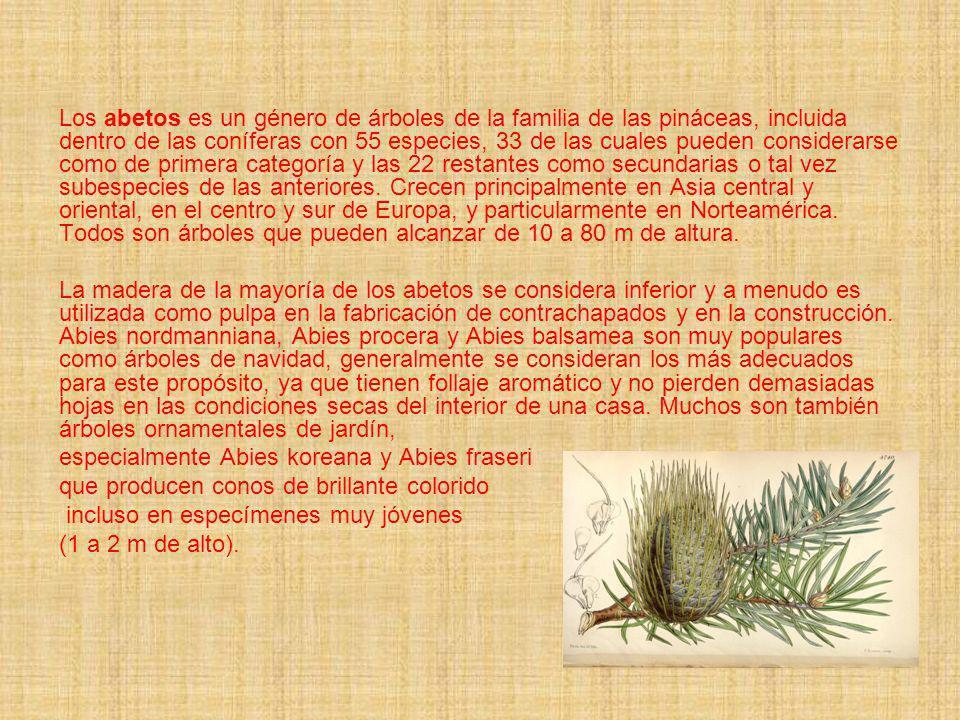 Los abetos es un género de árboles de la familia de las pináceas, incluida dentro de las coníferas con 55 especies, 33 de las cuales pueden considerarse como de primera categoría y las 22 restantes como secundarias o tal vez subespecies de las anteriores. Crecen principalmente en Asia central y oriental, en el centro y sur de Europa, y particularmente en Norteamérica. Todos son árboles que pueden alcanzar de 10 a 80 m de altura.