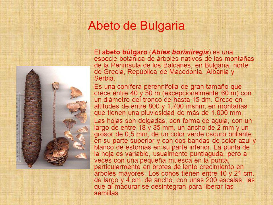 Abeto de Bulgaria