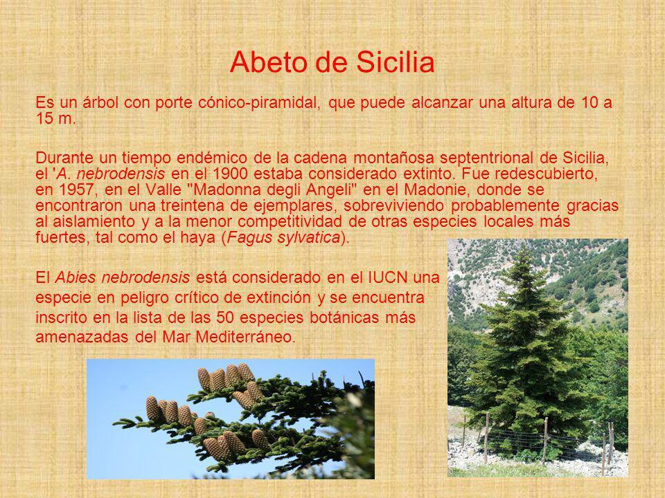 Abeto de SiciliaEs un árbol con porte cónico-piramidal, que puede alcanzar una altura de 10 a 15 m.