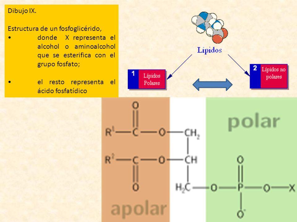 Dibujo IX. Estructura de un fosfoglicérido, • donde X representa el alcohol o aminoalcohol que se esterifica con el grupo fosfato;