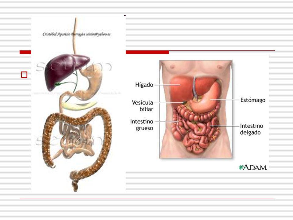 En su trayecto a lo largo del tronco del cuerpo, discurre por delante de la columna vertebral.
