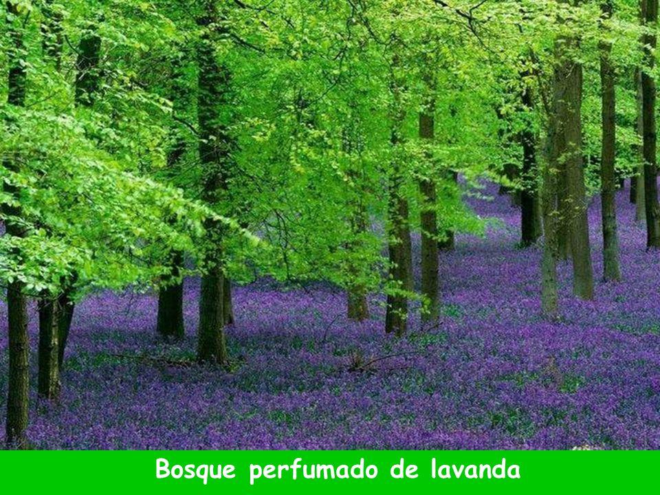 Bosque perfumado de lavanda