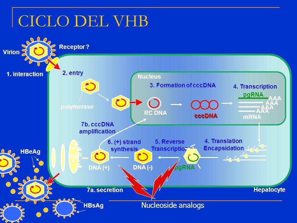 7b. cccDNA amplification