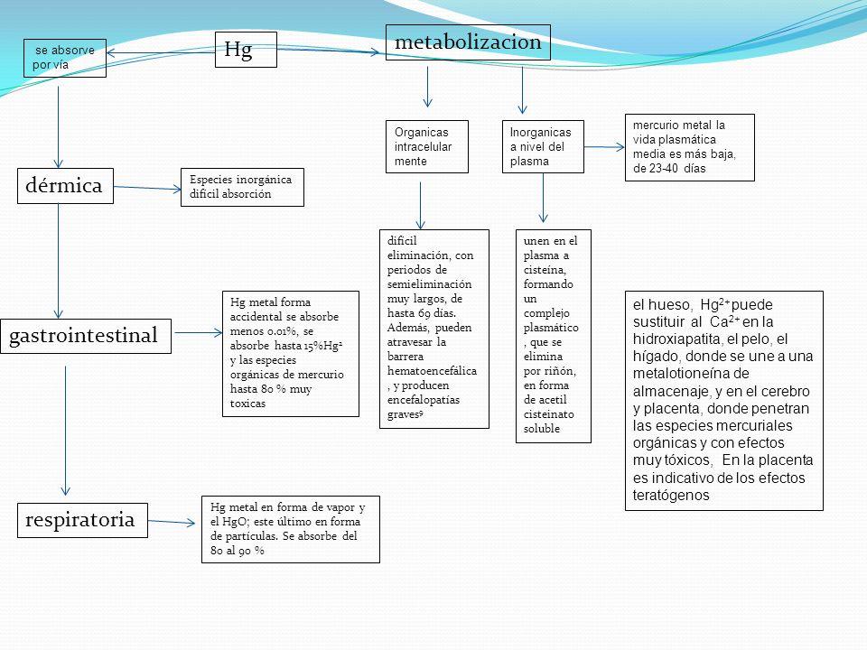metabolizacion Hg dérmica gastrointestinal respiratoria