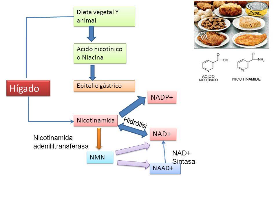 Hígado NADP+ NAD+ Dieta vegetal Y animal Acido nicotínico o Niacina