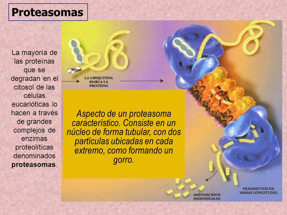 Proteasomas