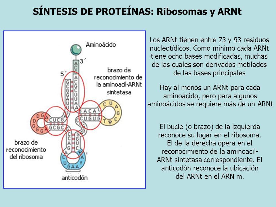 SÍNTESIS DE PROTEÍNAS: Ribosomas y ARNt