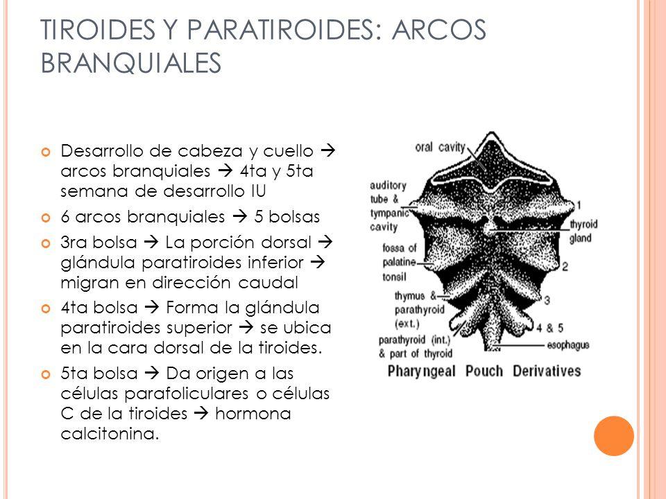 TIROIDES Y PARATIROIDES: ARCOS BRANQUIALES