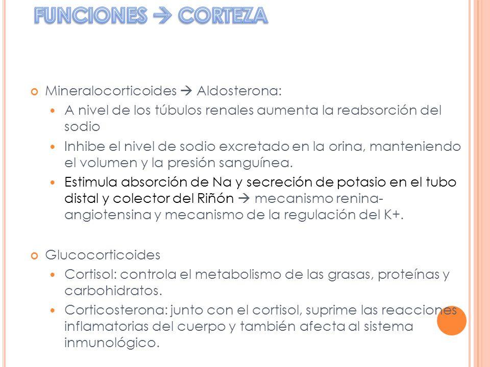 FUNCIONES  CORTEZA Mineralocorticoides  Aldosterona: