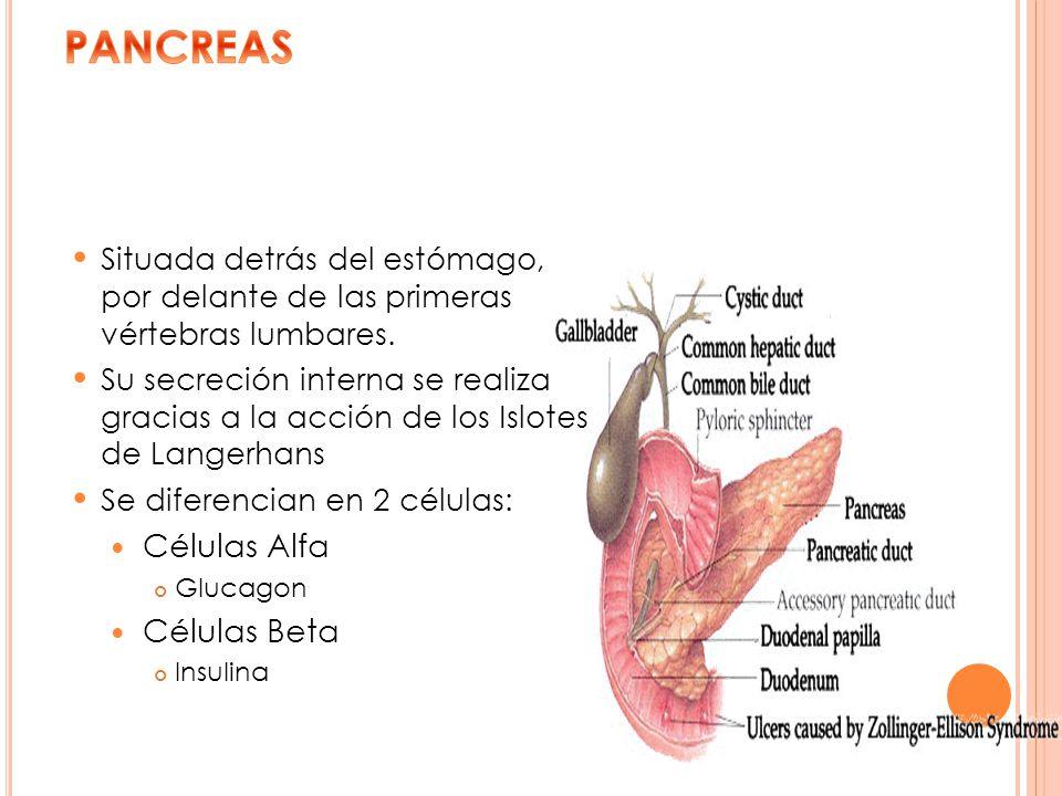 PANCREAS Células Alfa Células Beta