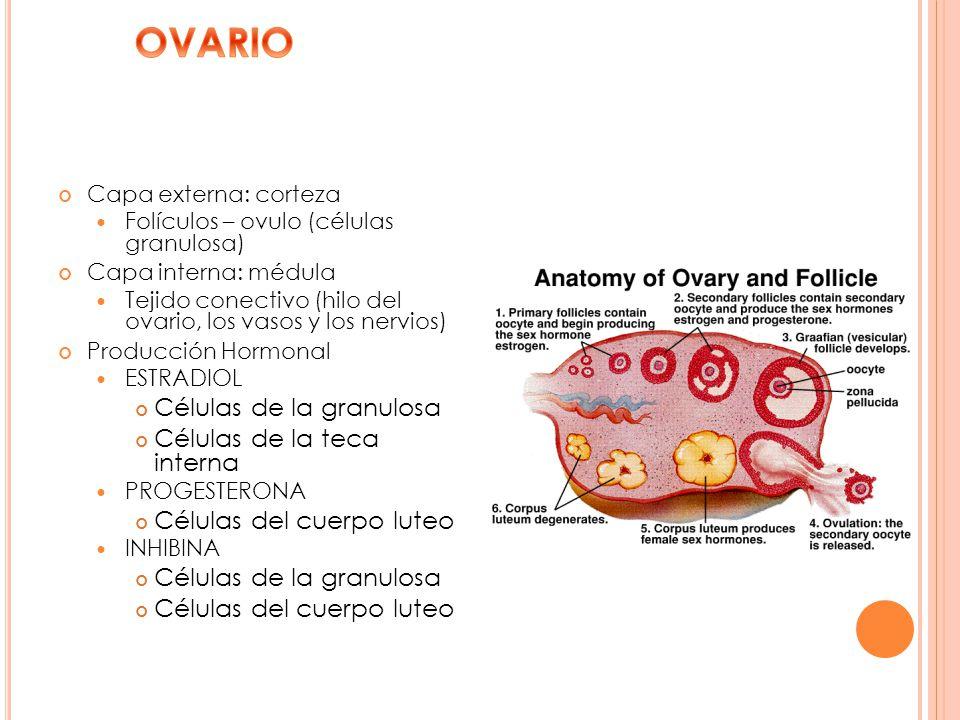 OVARIO Células de la granulosa Células de la teca interna