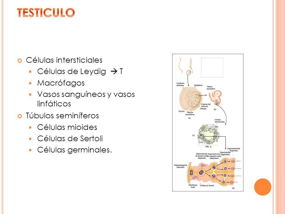 TESTICULO Células intersticiales Células de Leydig  T Macrófagos