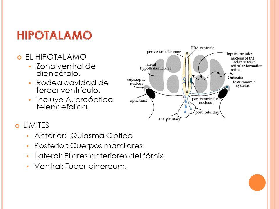 HIPOTALAMO EL HIPOTALAMO Zona ventral de diencéfalo.