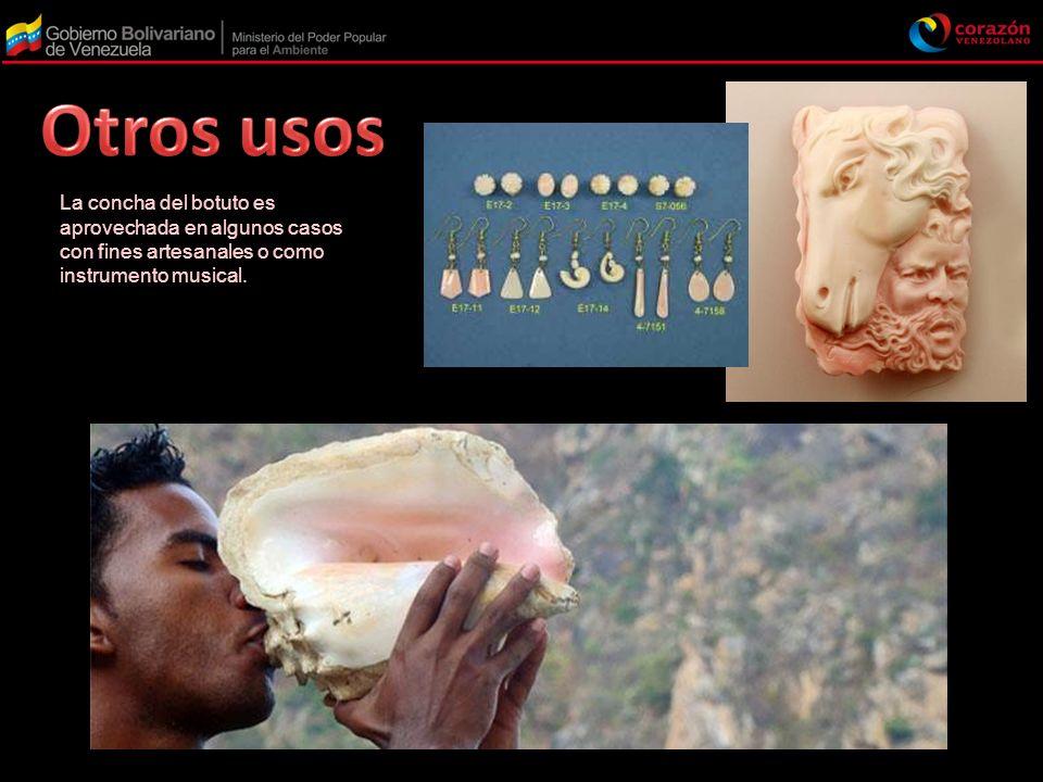 Otros usos La concha del botuto es aprovechada en algunos casos con fines artesanales o como instrumento musical.