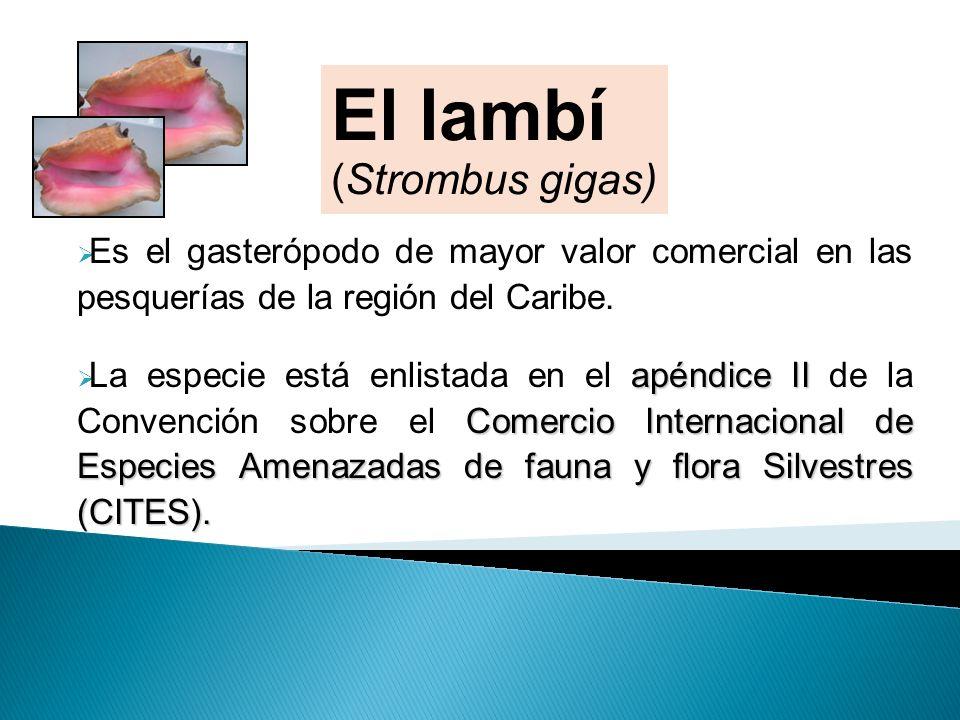 El lambí (Strombus gigas)