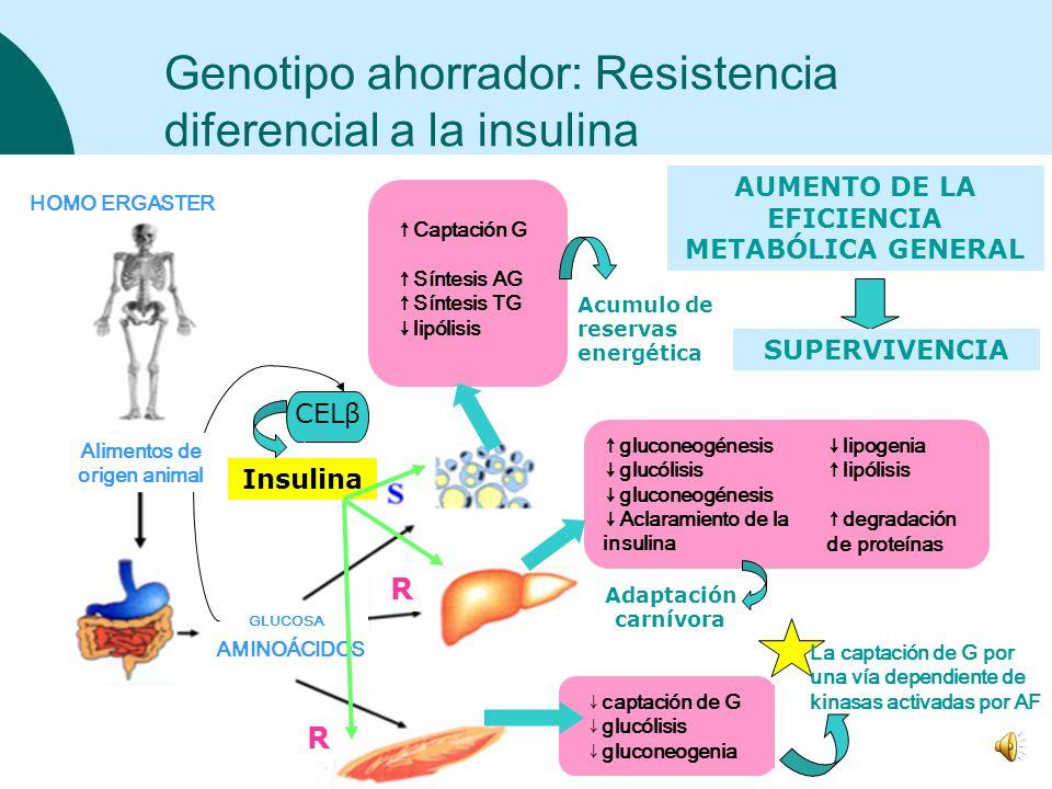 Genotipo ahorrador: Resistencia diferencial a la insulina