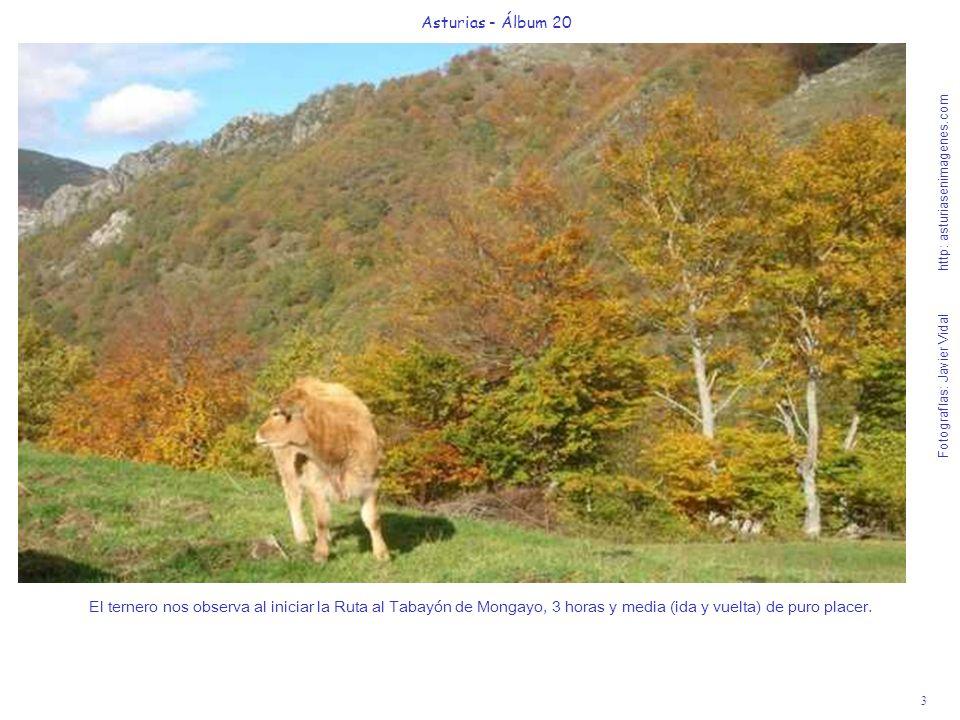 Asturias - Álbum 20 El ternero nos observa al iniciar la Ruta al Tabayón de Mongayo, 3 horas y media (ida y vuelta) de puro placer.