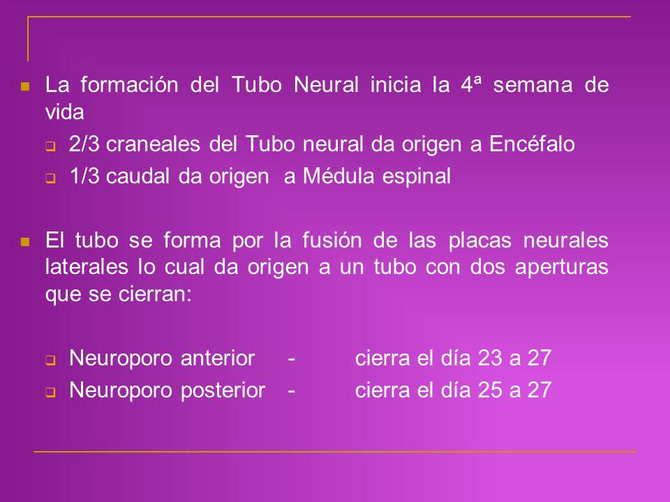 La formación del Tubo Neural inicia la 4ª semana de vida