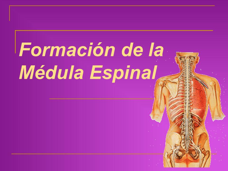 Formación de la Médula Espinal