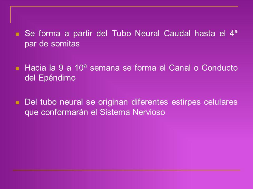 Se forma a partir del Tubo Neural Caudal hasta el 4ª par de somitas