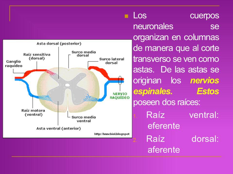 Los cuerpos neuronales se organizan en columnas de manera que al corte transverso se ven como astas. De las astas se originan los nervios espinales. Estos poseen dos raíces: