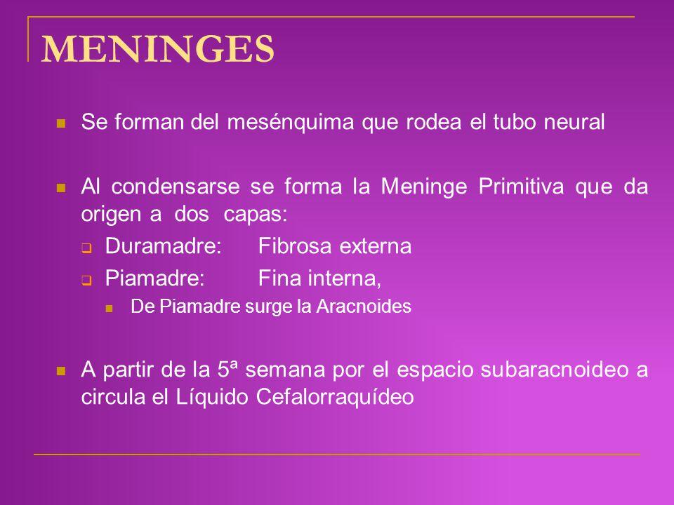 MENINGES Se forman del mesénquima que rodea el tubo neural