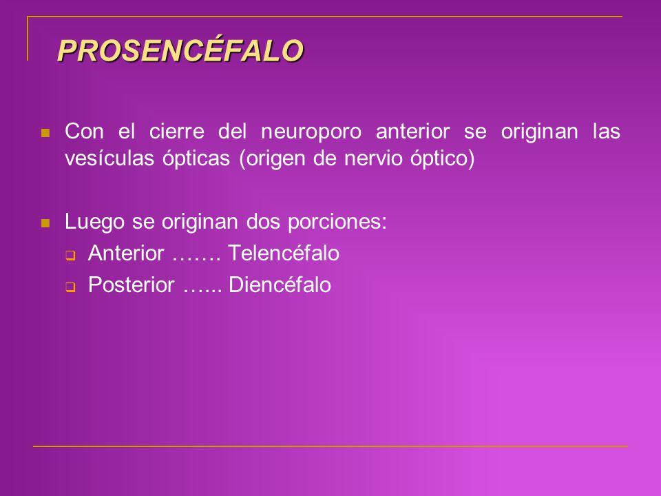 PROSENCÉFALO Con el cierre del neuroporo anterior se originan las vesículas ópticas (origen de nervio óptico)
