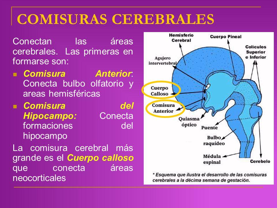 COMISURAS CEREBRALES Conectan las áreas cerebrales. Las primeras en formarse son: Comisura Anterior: Conecta bulbo olfatorio y areas hemisféricas.