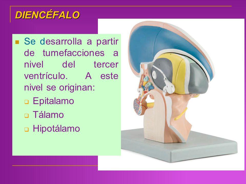 DIENCÉFALO Se desarrolla a partir de tumefacciones a nivel del tercer ventrículo. A este nivel se originan: