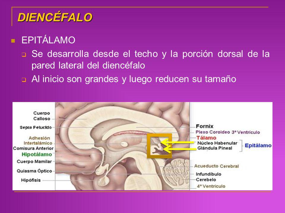 DIENCÉFALO EPITÁLAMO. Se desarrolla desde el techo y la porción dorsal de la pared lateral del diencéfalo.