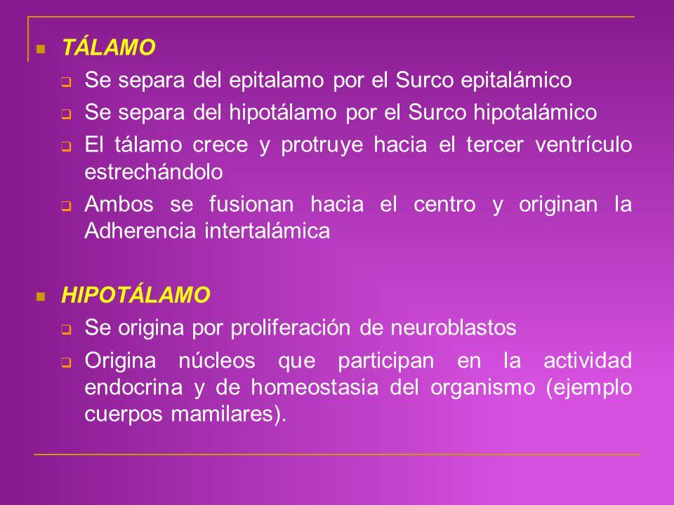 TÁLAMO Se separa del epitalamo por el Surco epitalámico. Se separa del hipotálamo por el Surco hipotalámico.