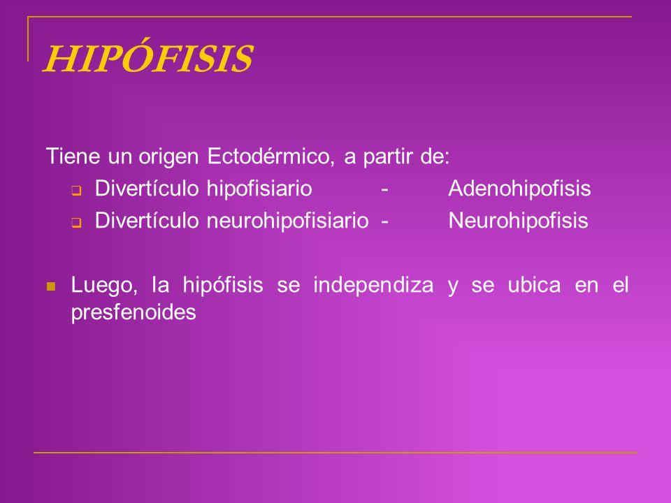 HIPÓFISIS Tiene un origen Ectodérmico, a partir de: