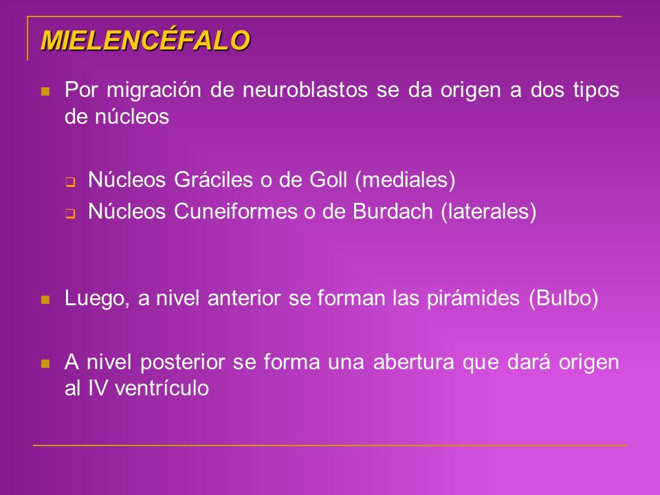 MIELENCÉFALO Por migración de neuroblastos se da origen a dos tipos de núcleos. Núcleos Gráciles o de Goll (mediales)