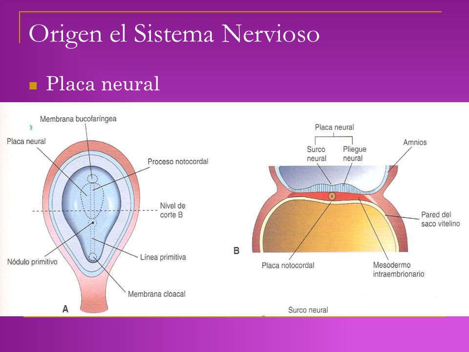 Origen el Sistema Nervioso