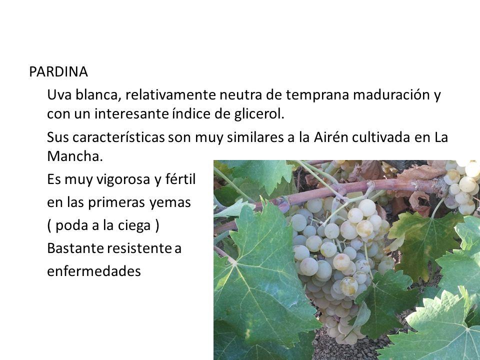 PARDINA Uva blanca, relativamente neutra de temprana maduración y con un interesante índice de glicerol.