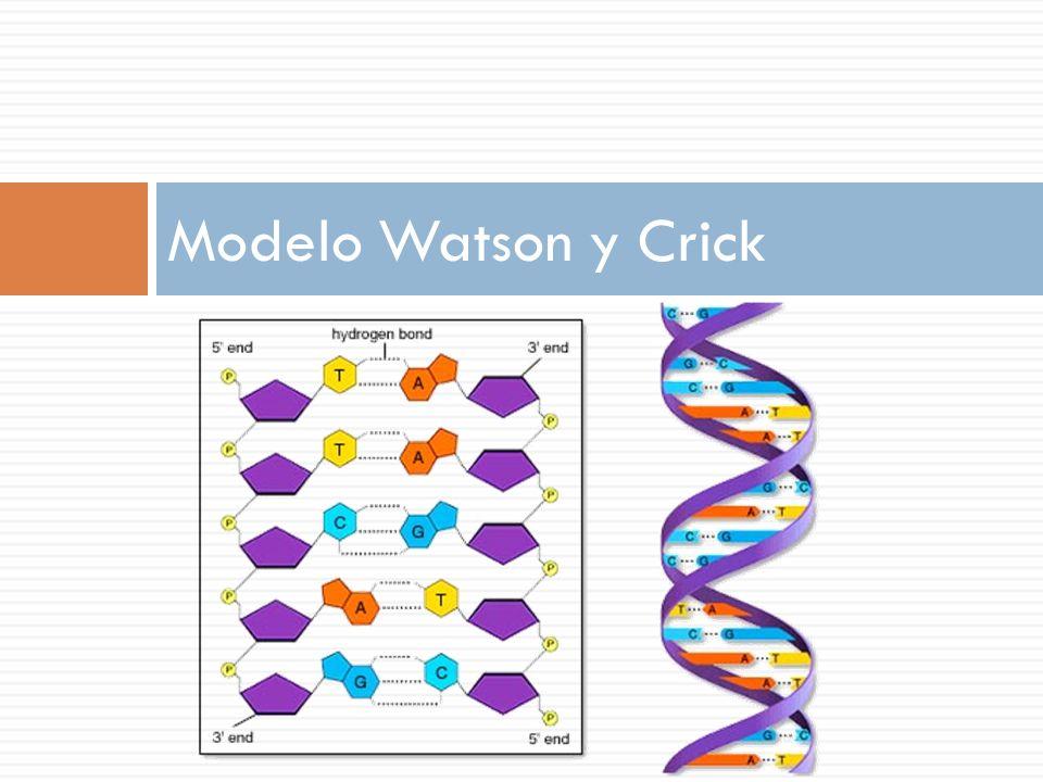 Modelo Watson y Crick