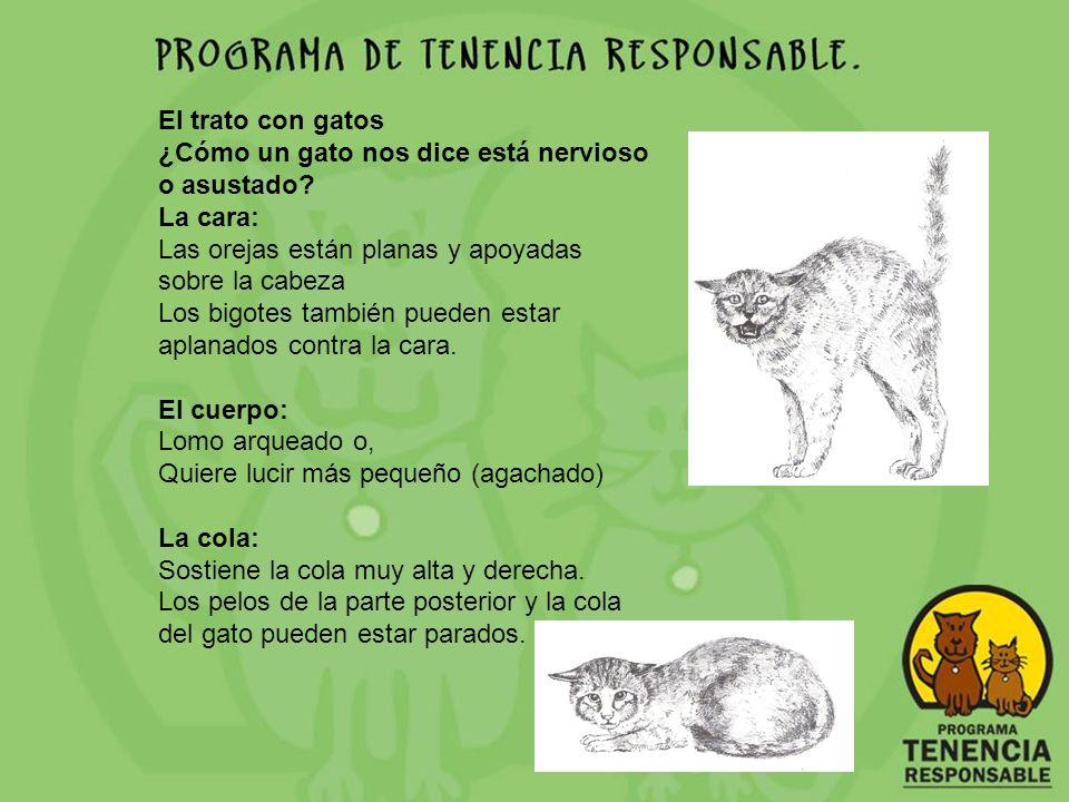 El trato con gatos ¿Cómo un gato nos dice está nervioso o asustado La cara: Las orejas están planas y apoyadas sobre la cabeza.