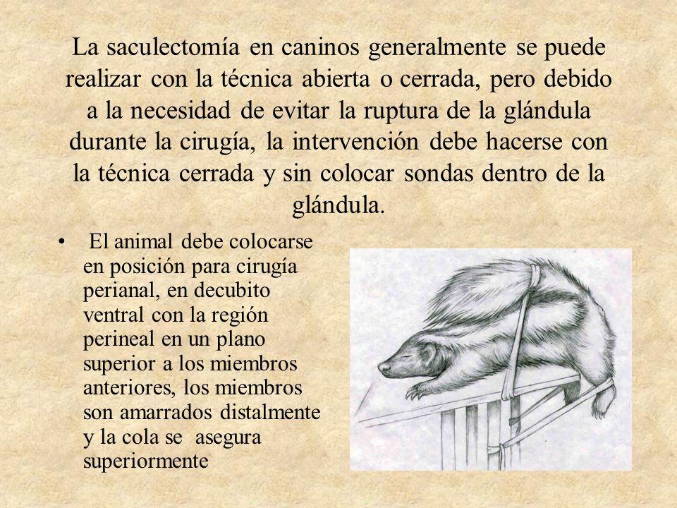 La saculectomía en caninos generalmente se puede realizar con la técnica abierta o cerrada, pero debido a la necesidad de evitar la ruptura de la glándula durante la cirugía, la intervención debe hacerse con la técnica cerrada y sin colocar sondas dentro de la glándula.
