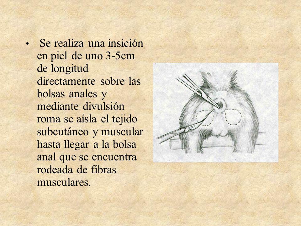 Se realiza una insición en piel de uno 3-5cm de longitud directamente sobre las bolsas anales y mediante divulsión roma se aísla el tejido subcutáneo y muscular hasta llegar a la bolsa anal que se encuentra rodeada de fibras musculares.