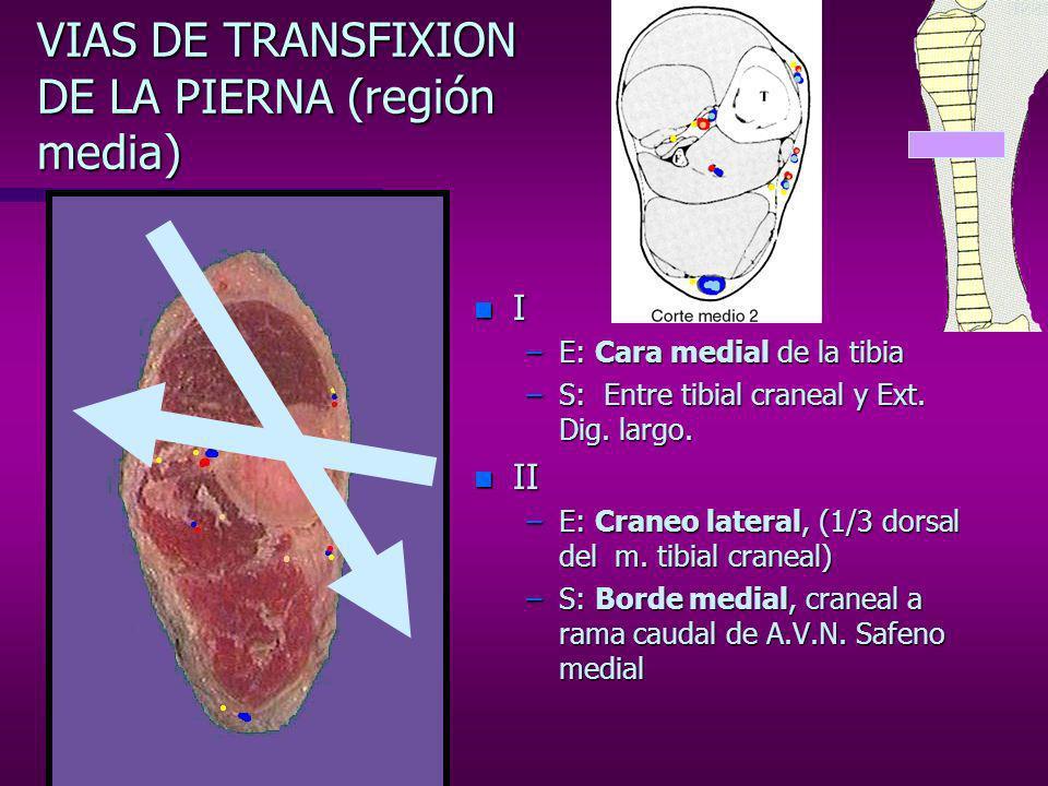 VIAS DE TRANSFIXION DE LA PIERNA (región media)