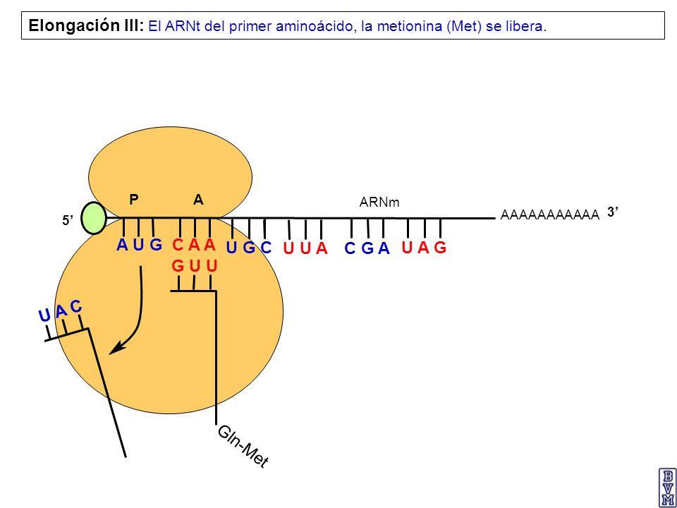 Elongación III: El ARNt del primer aminoácido, la metionina (Met) se libera.