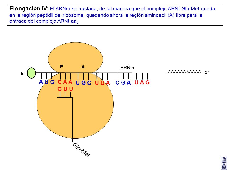 Elongación IV: El ARNm se traslada, de tal manera que el complejo ARNt-Gln-Met queda en la región peptidil del ribosoma, quedando ahora la región aminoacil (A) libre para la entrada del complejo ARNt-aa3